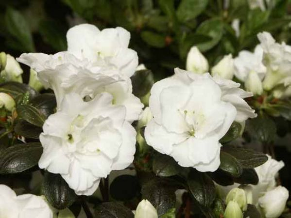 Kobe 9 Mid Assortiment rhododendr...
