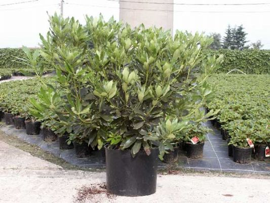 assortment rhododendron wuloplant extra large varieties. Black Bedroom Furniture Sets. Home Design Ideas